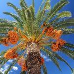 Seorang Muslim Layaknya Pohon Kurma